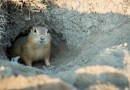 Getting Rid of Gophers in the Pacific Northwest