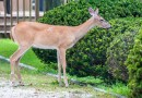 Deer Resistant Plants for the Pacific Northwest