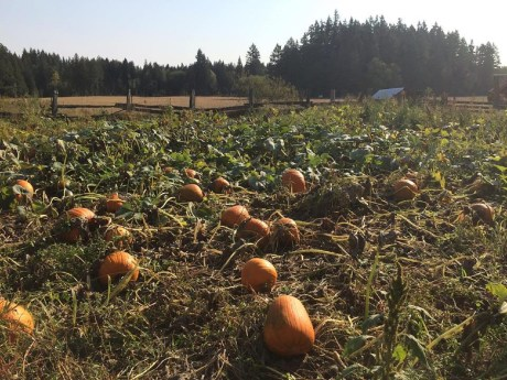 Pumpkin Patch at Willy Tee's
