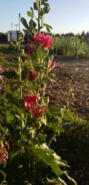 Winlock Community Garden Flowers