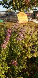 Winlock Community Garden Herbs