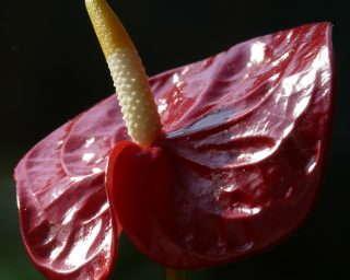 7-flamingo-flower-80045_1920