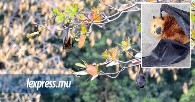 L'abattage des chauves-souris nuit à la biodiversité