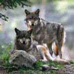 De lobo malo a lobo bueno