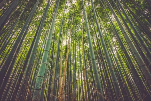 sweet shoot bamboo trees