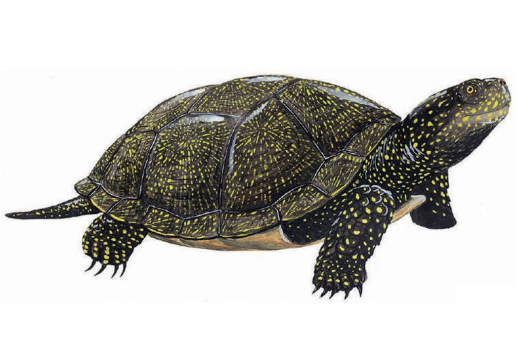 Seguint les passes de la tortuga d'estany