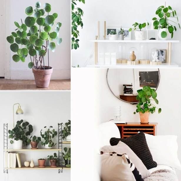 IT Plants: LE PILEA