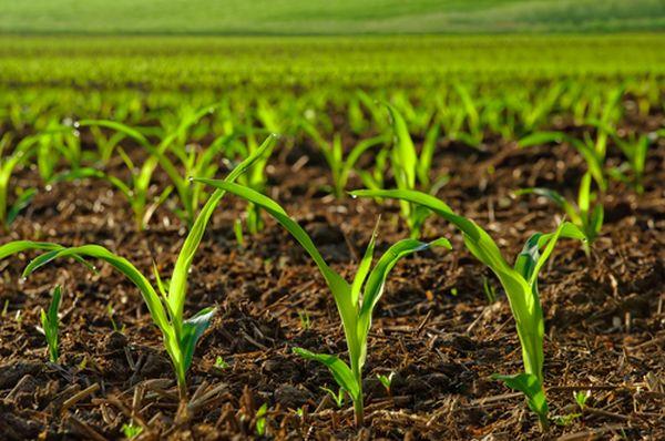 Sunlit young corn plants