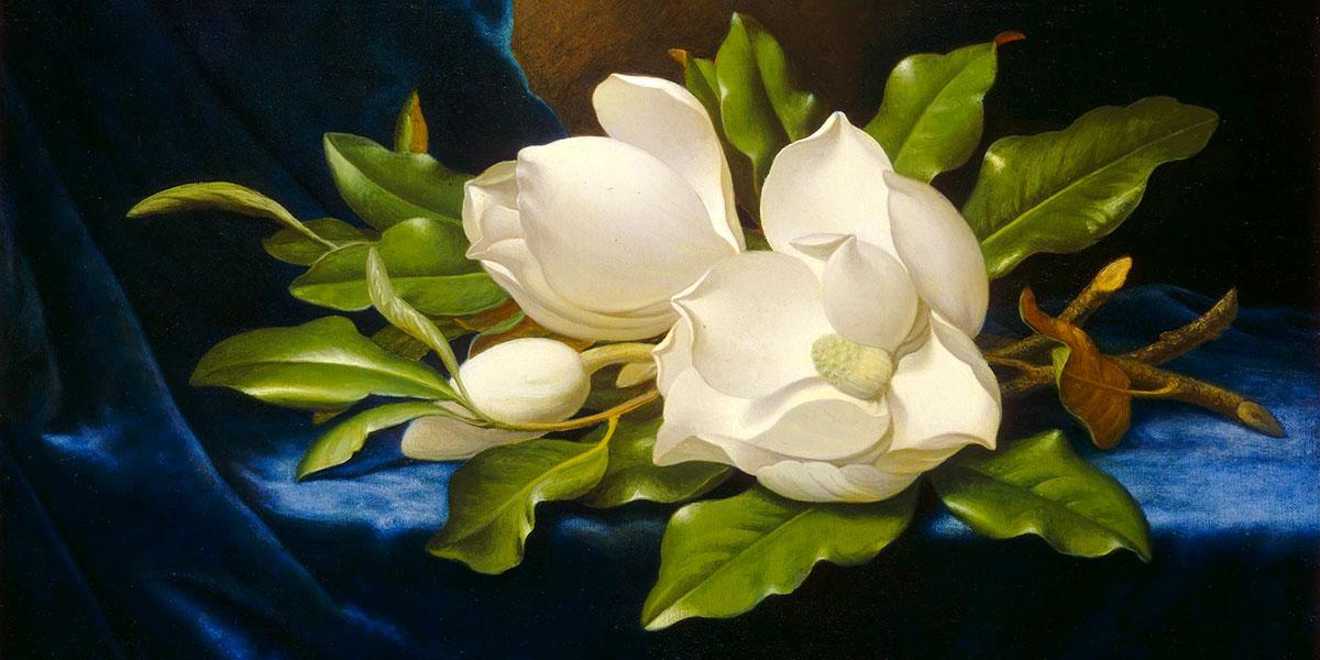 Giant Magnolias on a Blue Velvet Cloth. Martin Johnson Heade