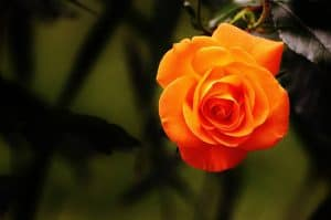 Beautiful orange rose in a client's front yard.