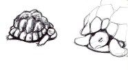 tortue-croquis-libou