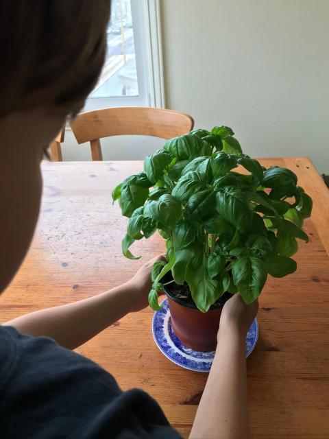 Child holding basil plant.