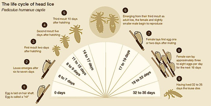 Life Cycle of head lice removal service, and treatment