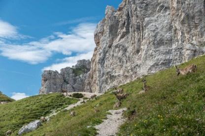 Steinbockherde kurz unterhalb des Sattels Forca dei Disteis