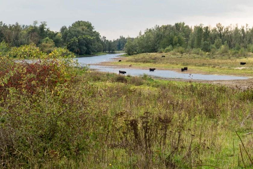Eine Galloway-Rinder Herde am Rande einer Wasserfläche