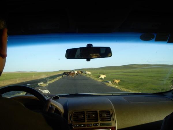 סוסים חוצים את הכביש