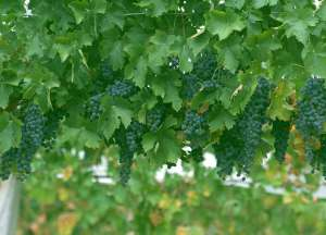 wine-grapes2 3