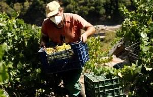 Aumentan las ventas del vino de la Ribeira Sacra