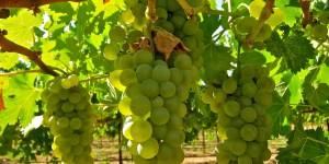Viognier cultivados 2