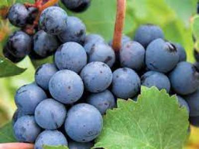 uvas Merlot y el Cabernet Sauvignon