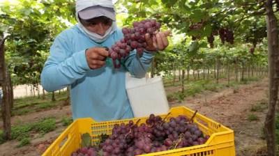 el cultivo de la uva