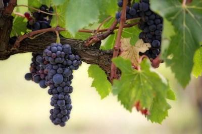 morfología de la uva