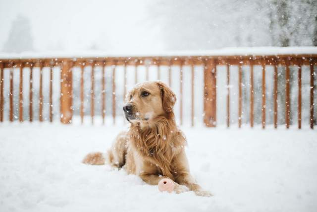 Golden retriever lays on snowy porch with ball