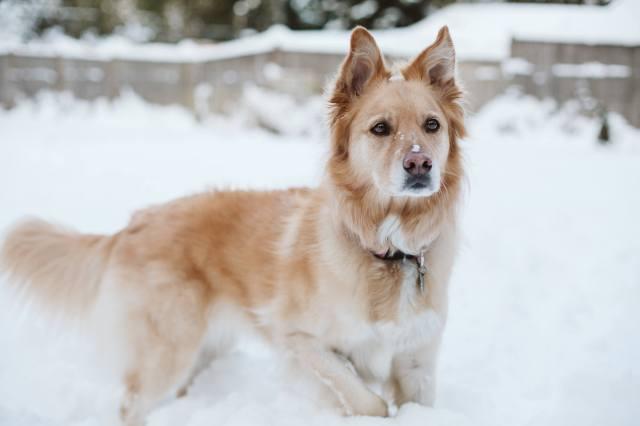 golden dog stands at alert in deep Washington snow