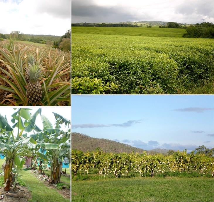 Früchte und Plantagen | Australien Ostküste Reisetipps | Sehenswürdigkeiten | Reisebericht