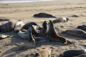 Seelefanten am Strand von Piedras Blancas