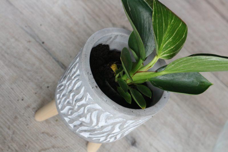 planten van plantrebelz