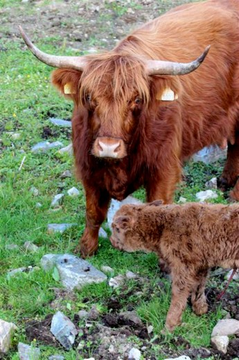 Skotsk høylandsfe med kalv