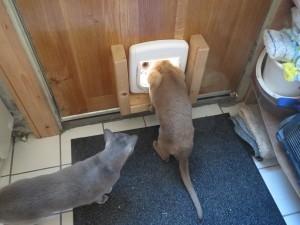 Pepijn,kattenluikje, eerste keer,Burmezen