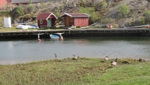 Zweden,Tjörn,ganzen,jonge gansjes