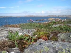 Zweden,Tjörn,Klädesholmen,rotsen,zee,bloemen