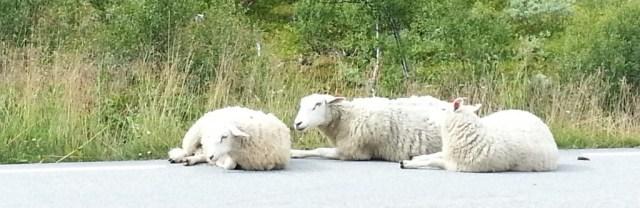 Noorwegen,schapen,Panoramaweg,Aurland,2015,sneeuw,zomer