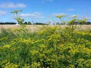 korenvelden,Friesland,zomer,2015,uitgestrekt