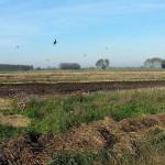 Friesland,herfst,vogels,mais geoogst,2015