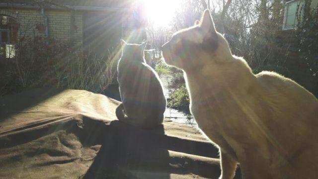 zon,tuin,Burmezen,koesteren,januari 2016,poezen