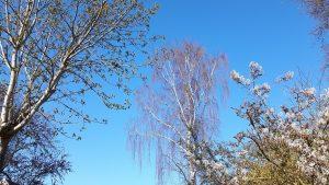 kastanje,krentenboom,berk,blauwe lucht,april 2016
