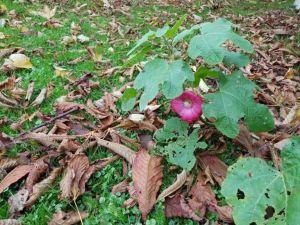 Herfst in de tuin en de stokroos bloeit maar door