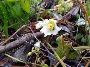 tuin, de eerste bloem van de helleborus
