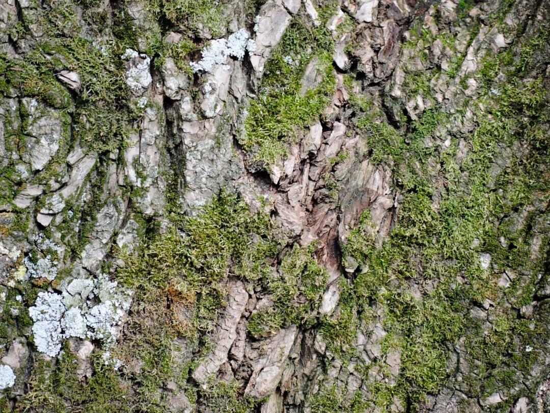Moss and Lichen on Cedar