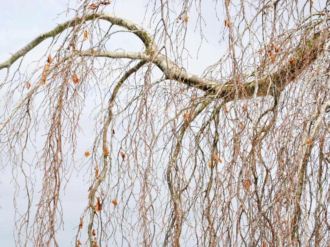 Birch Curtain in Soft Complementaries