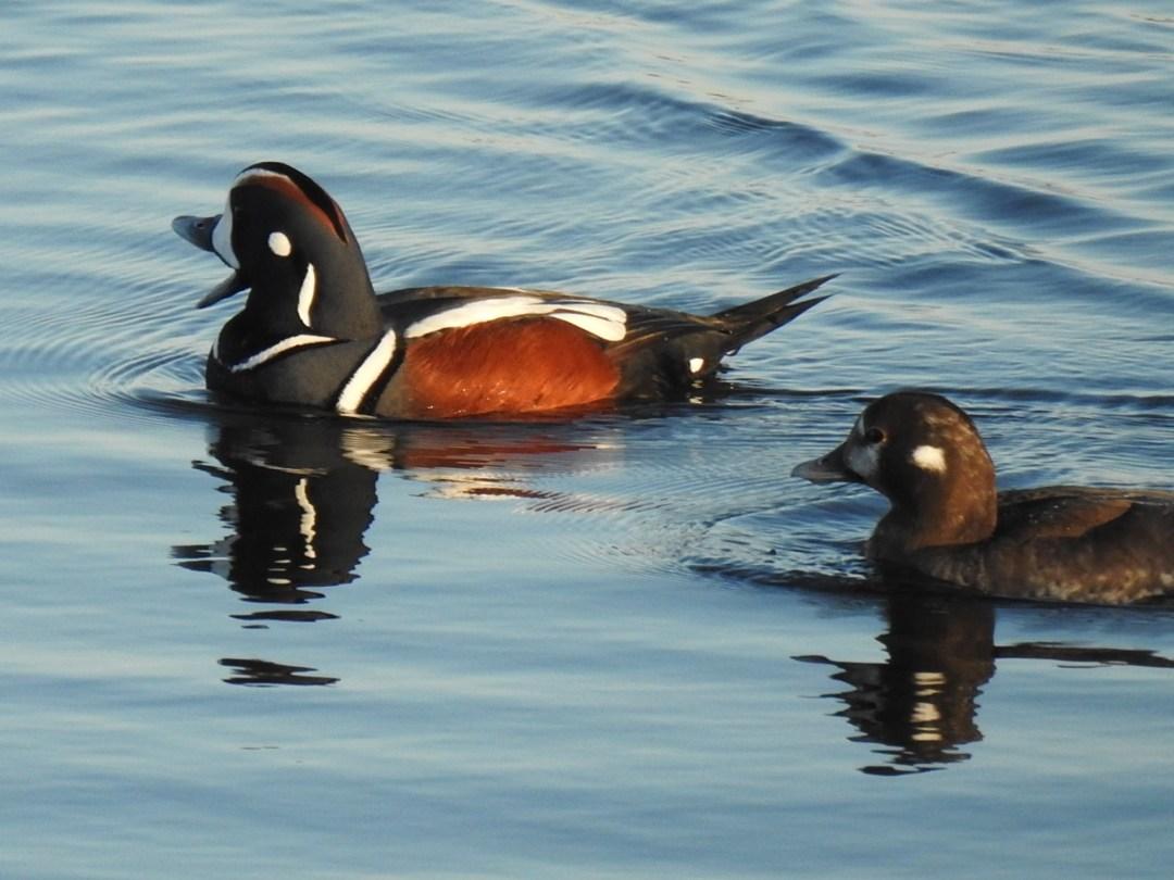 Harlequin Ducks Male and Female