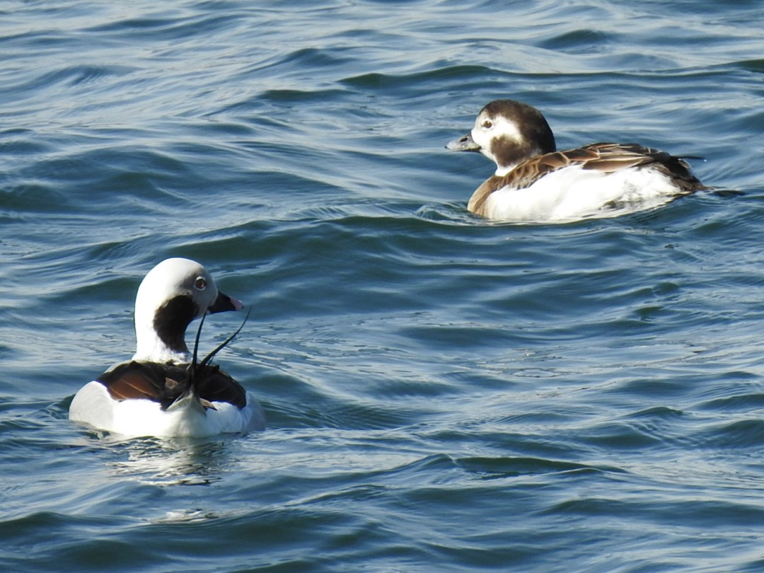 Long-tailed Duck Male and Female