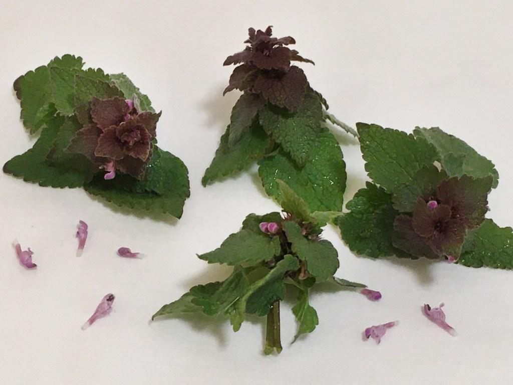 Sprigs of Purple Dead Nettle