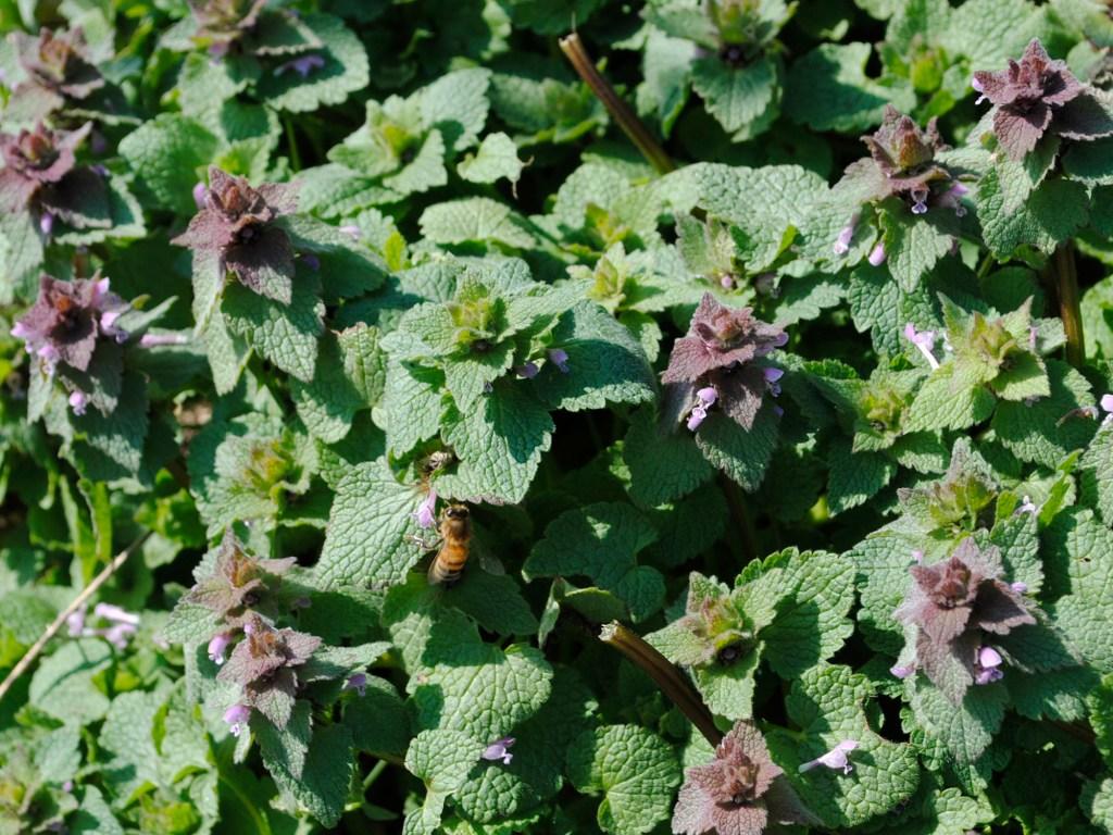 Purple Dead Nettle and a Bee