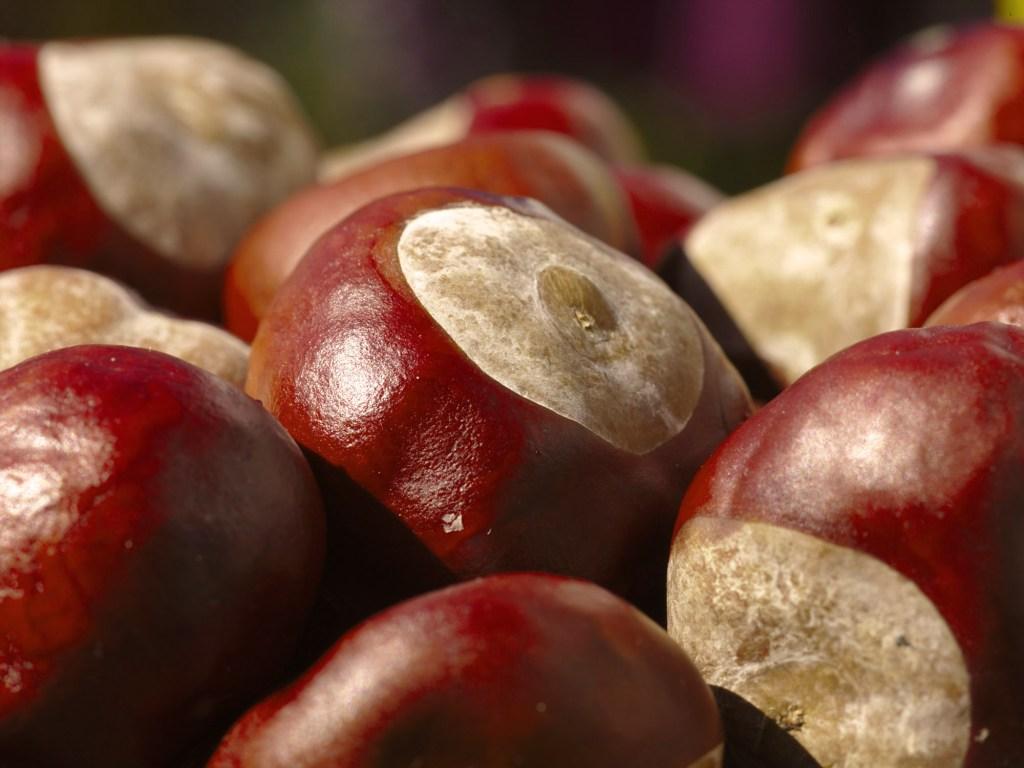 Horse Chestnuts Aesculus hippocastanum. Photo by stauze cc