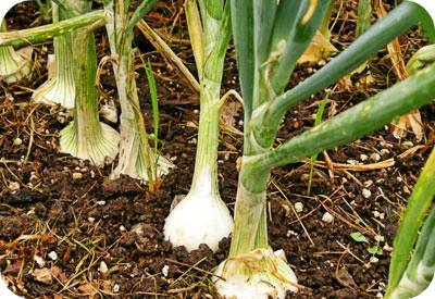 onions-foods-that-can-be-regrown